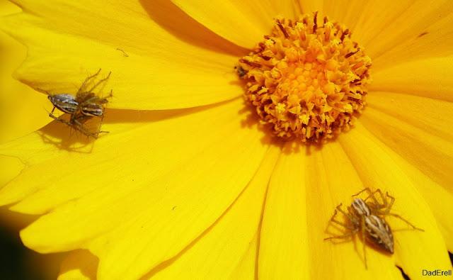 Deux araignées lynx sur un œil de jeune fille