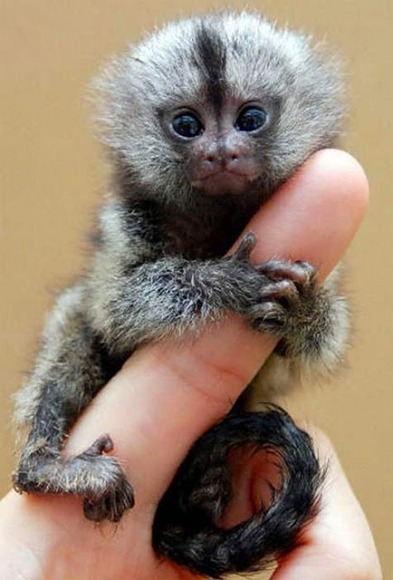 Image via FactZoo (Find out more about Finger Monkeys there)