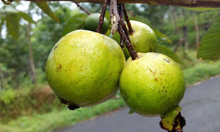 guava benefits for melanoma prevention
