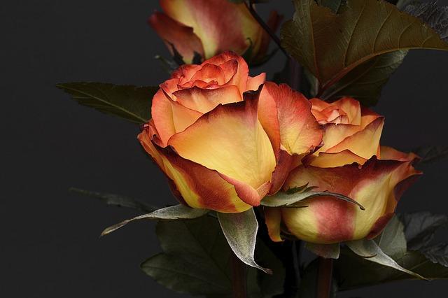 Beautiful Orange Rose in Black Background