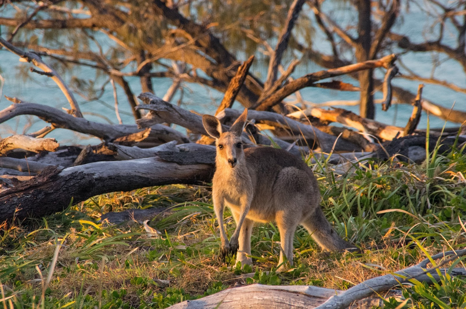Kangaroos on North Gorge Walk Stradbroke Island
