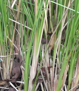 Manfaat dan Khasiat Tanaman Akar Wangi (Vetiveria Zizanioides L. Nash)