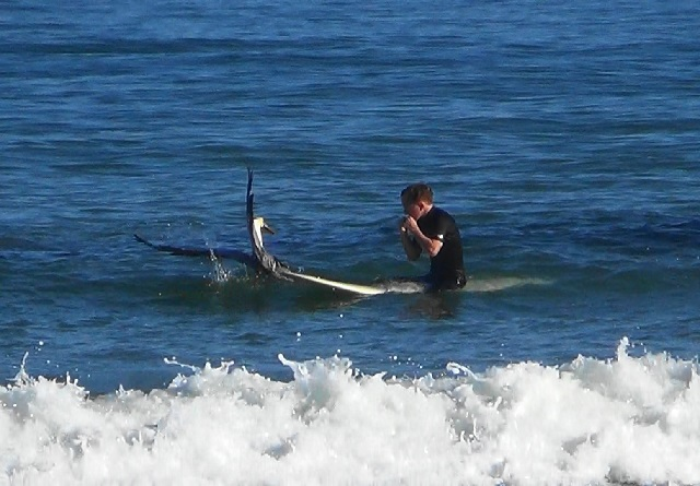 Surfer saves pelican