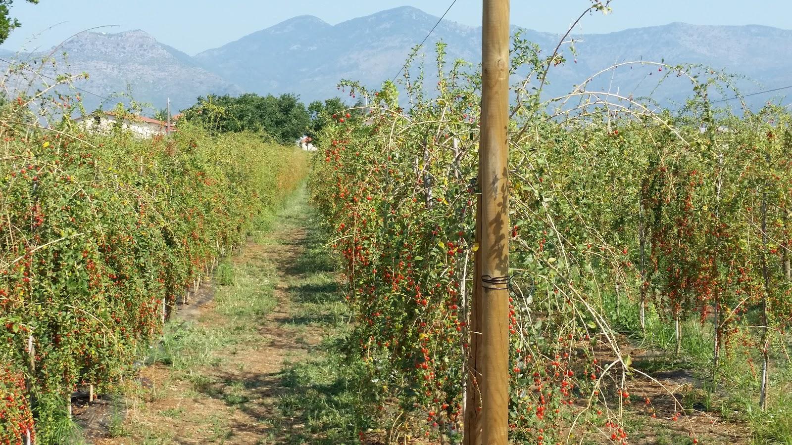 Agronomic advice goji visita ad un impianto in produzione for Coltivazione goji