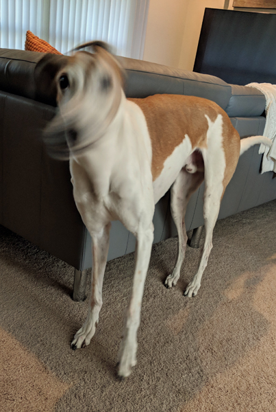 image of Dudley the Greyhound standing in the living room, his head a blur as he shakes his head