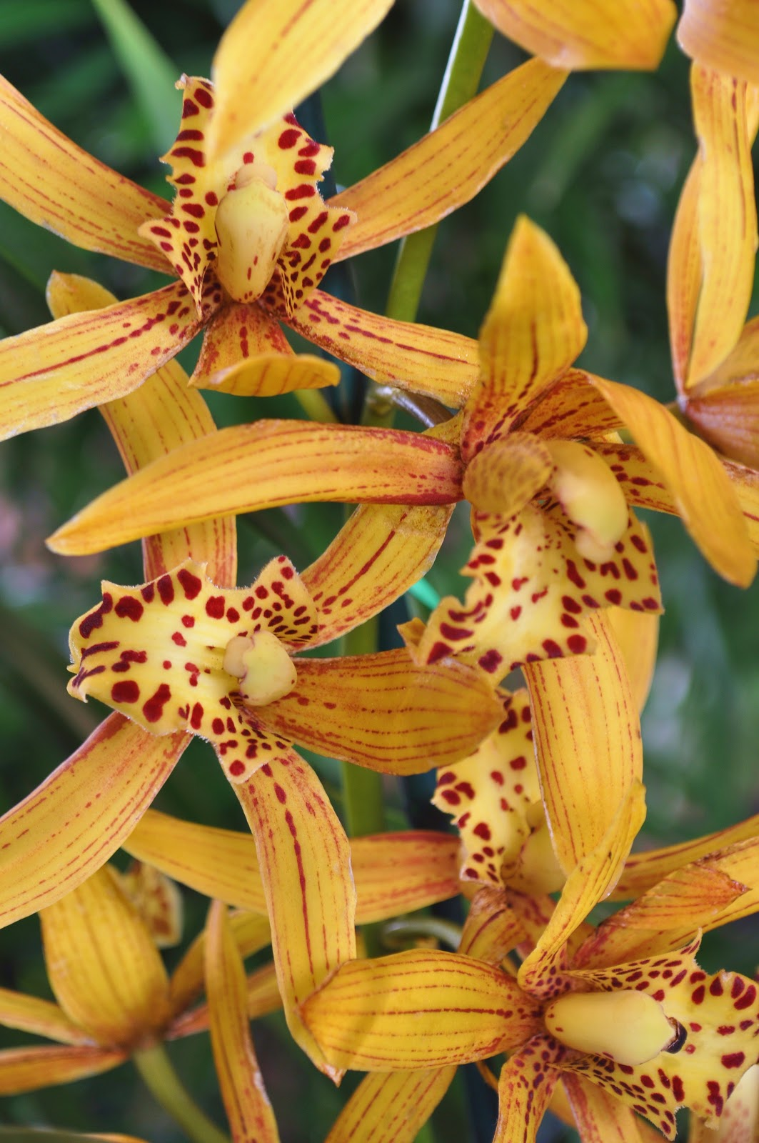 My Hawaiian Home: Hilo Orchid Show Photos
