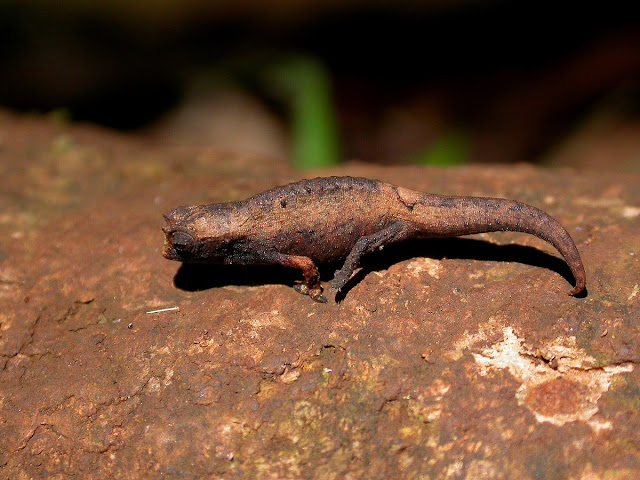 Brookesia tuberculata