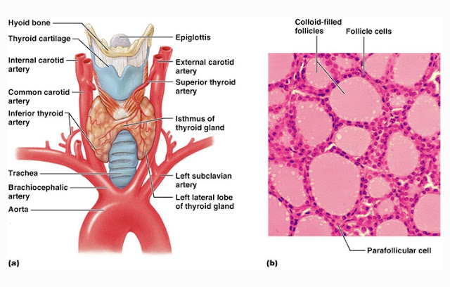 Struktur Kelenjar Tiroid