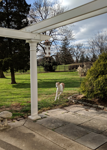 image of Dudley the Greyhound galloping toward the back porch