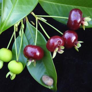 Cherry Brazil Tại Nhà vườn Khánh Võ