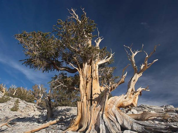 Pino Bristlecone Pinus longaeva