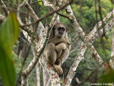 muriqui-do-norte, muriqui, fotos de animais, Brachyteles hypoxanthus, extinção, animal ameaçado de extinção, maior primata das américas, macaco, muriqui, monkey, natureza, animal, conservação, mata atlântica, fauna em extinção, IUCN, espécie ameaçada