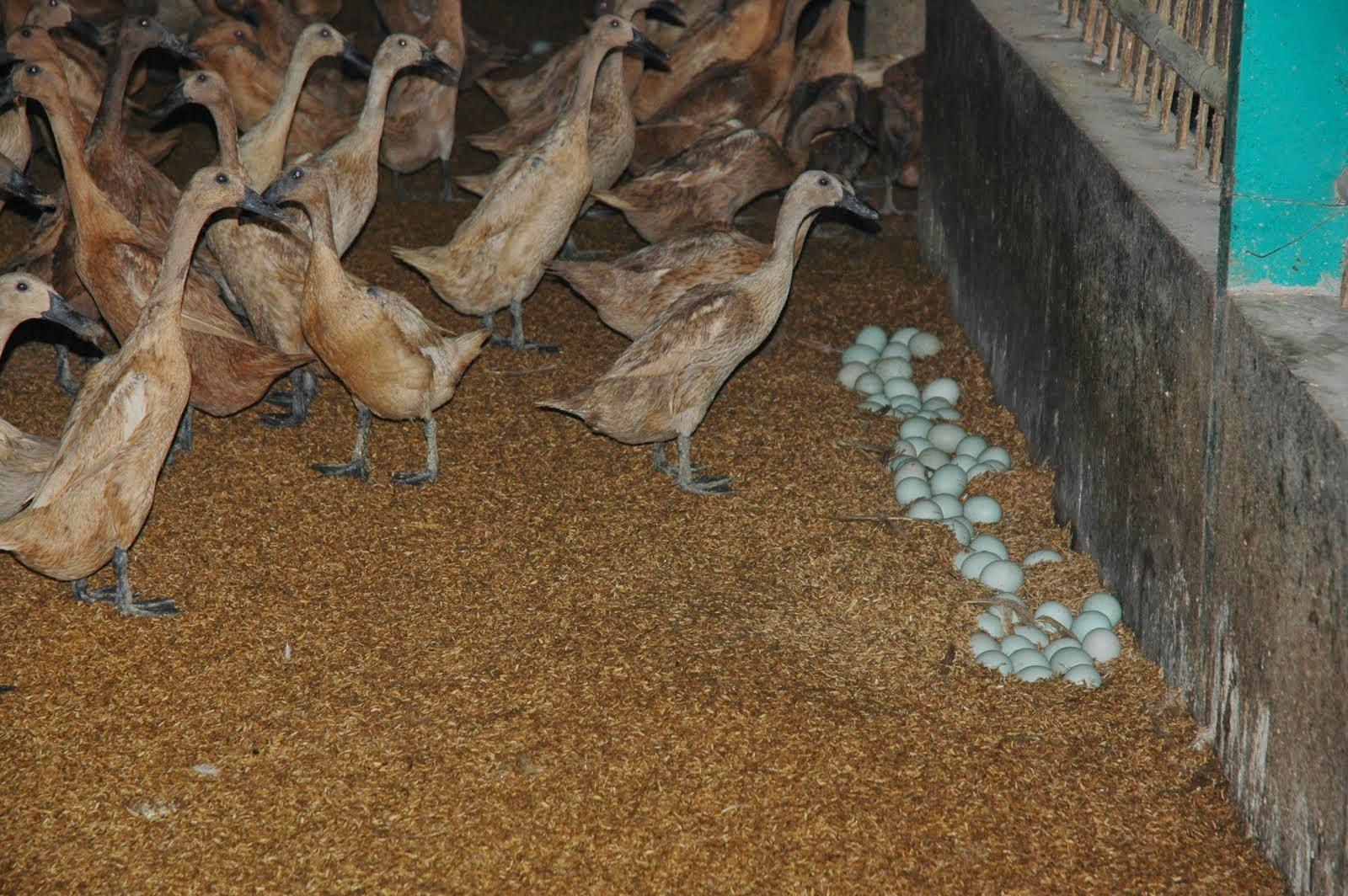Cara memelihara bebek petelur yang benar dan baik