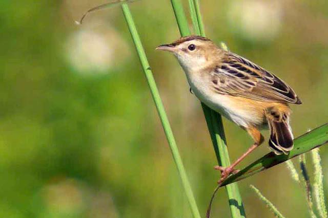Cisticola juncidis, bird, Streaked Fantail Warbler, Okinawa, nature