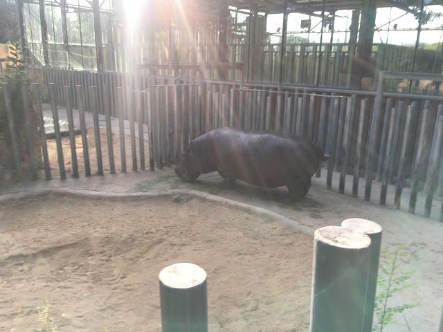 hipopotamul african