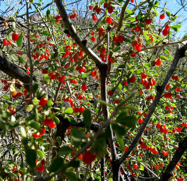 Lycium tree