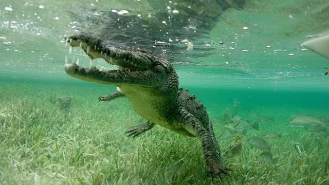 Diving beside a saltwater croc