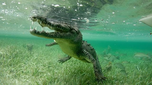 Diving beside a saltwater croc