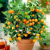 How To Plant a Citrus Tree in a Pot #Fruit_Gardening
