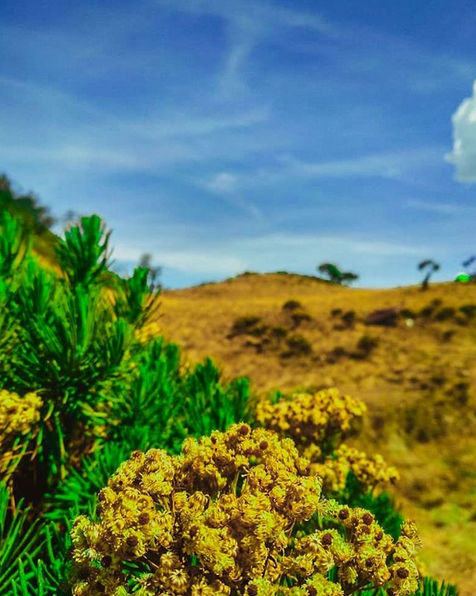 The Most Beautiful Edelweiss Flower Garden in Indonesia that You Must Visit