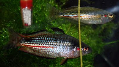 Duboulayi's rainbowfish