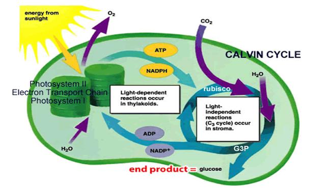 Siklus calvin yang terjadi pada tumbuhan dengan bantuan matahari dan kloroplas