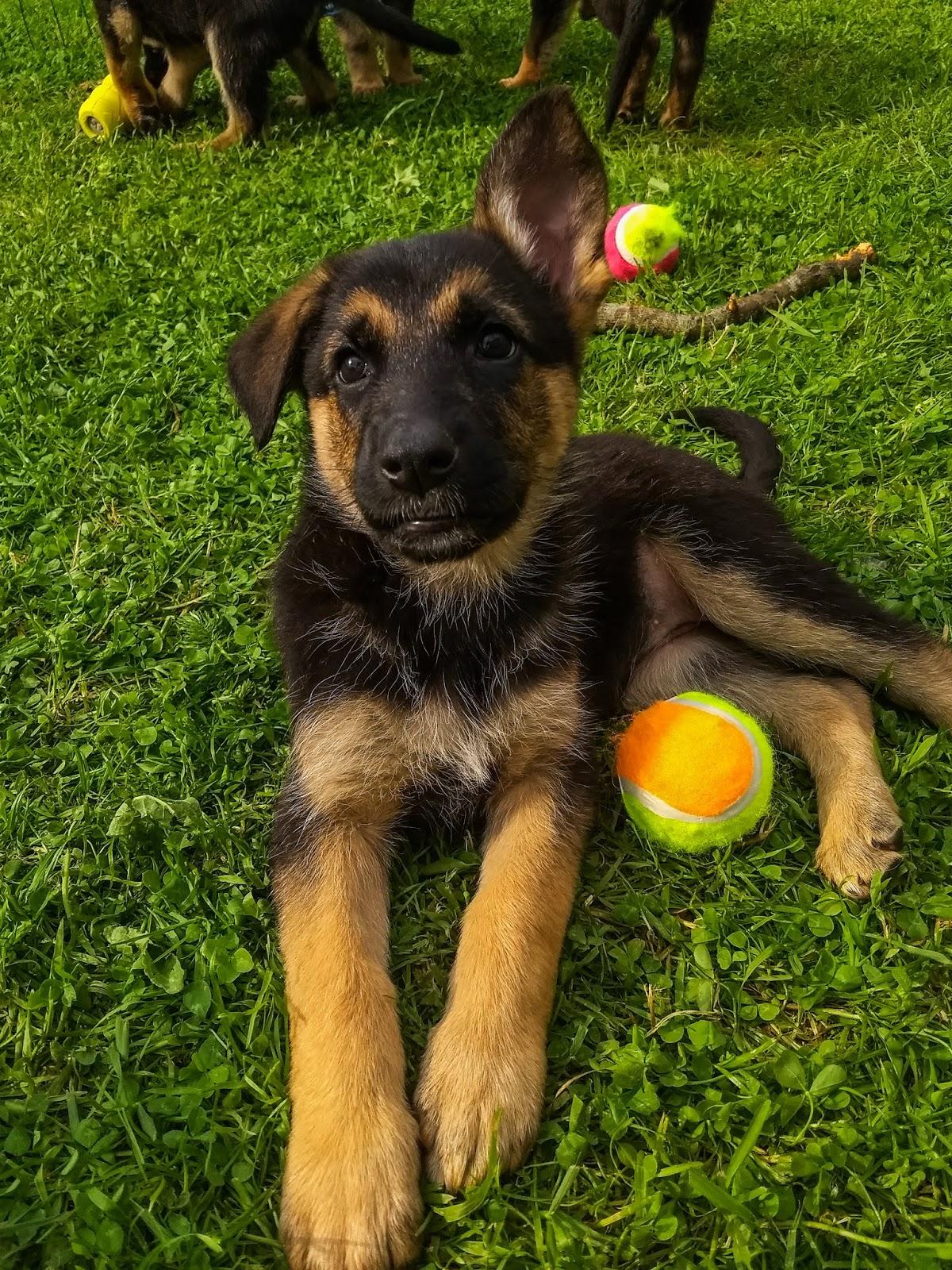6 week old German Shepherd puppy ears, one up and one down.