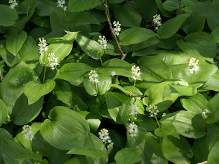 Maïanthème du Canada - Maianthemum canadense