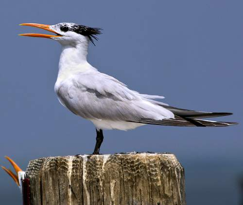 Birds of India - Photo of Great crested tern - Thalasseus bergii