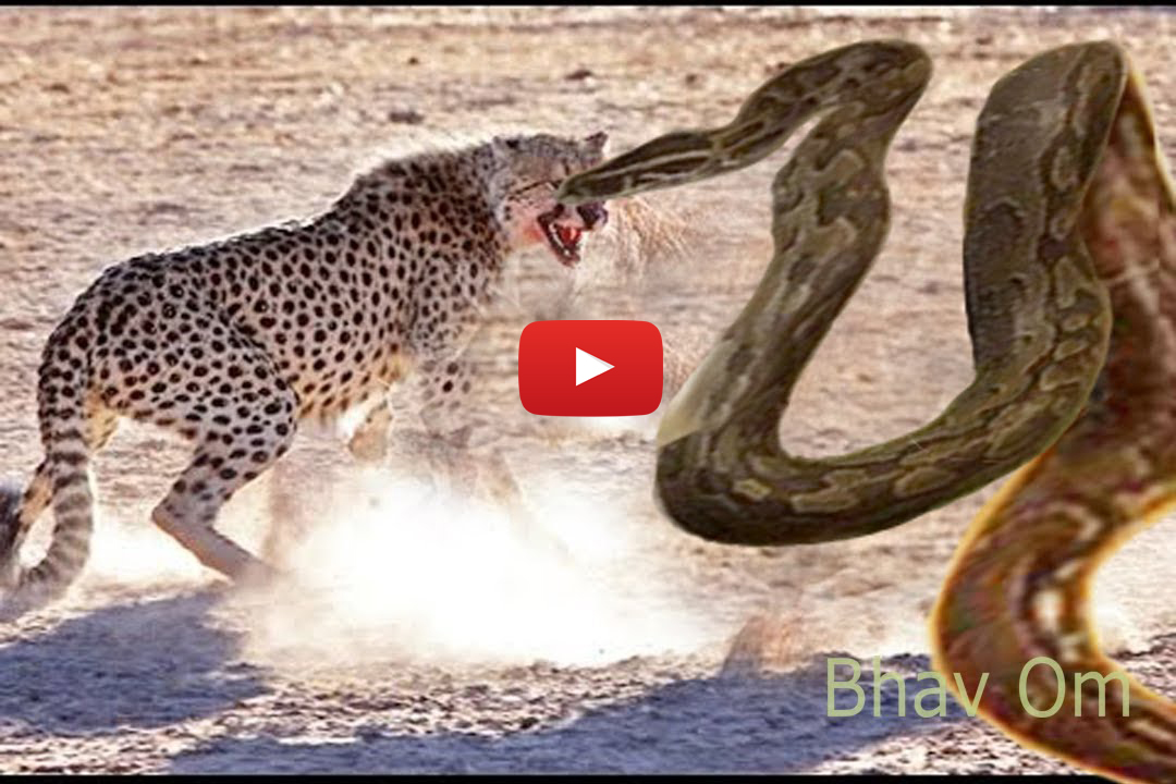 Giant Anaconda vs Lion vs Tiger Great Python vs Lion Real ...