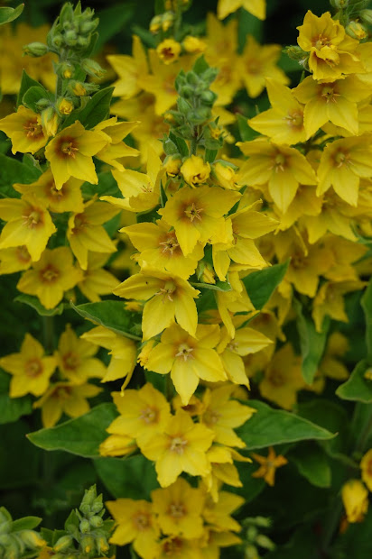 20 Yellow Perennial Flower Identification Pictures And Ideas On