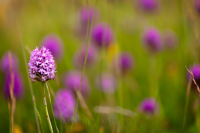 Beautiful pink pyrmidal orchids in a shallow depth of field macro image