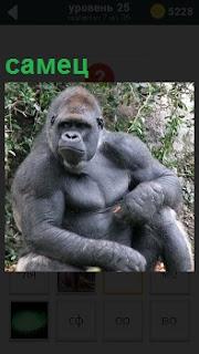 На земле сидит крупная горилла самец с серьезным выражением лица на фоне кустарника
