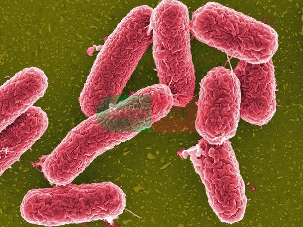 Bakteria salmonella