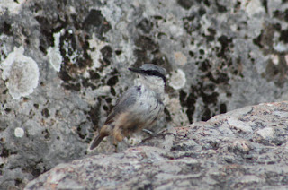 Camouflaged Western Rock Nuthatch.
