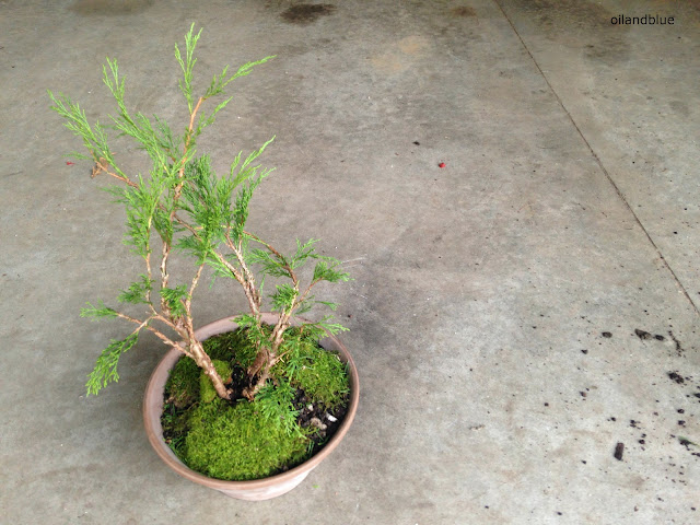 Make A Bonsai- a fun how-to on making a cute little bonsai tree from oil and blue blog
