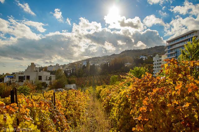 Виноградник осенью в Крыму
