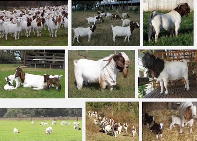 Rearing Boer Goat