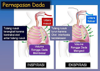 mekanisme pernapasan dada