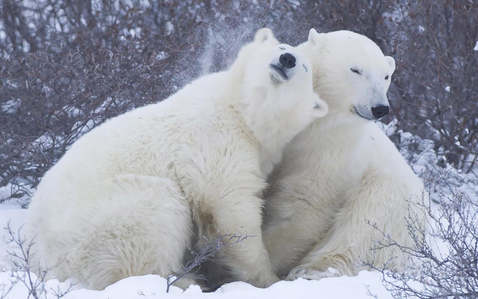 Two Cuddling Polar Bears Wallpaper