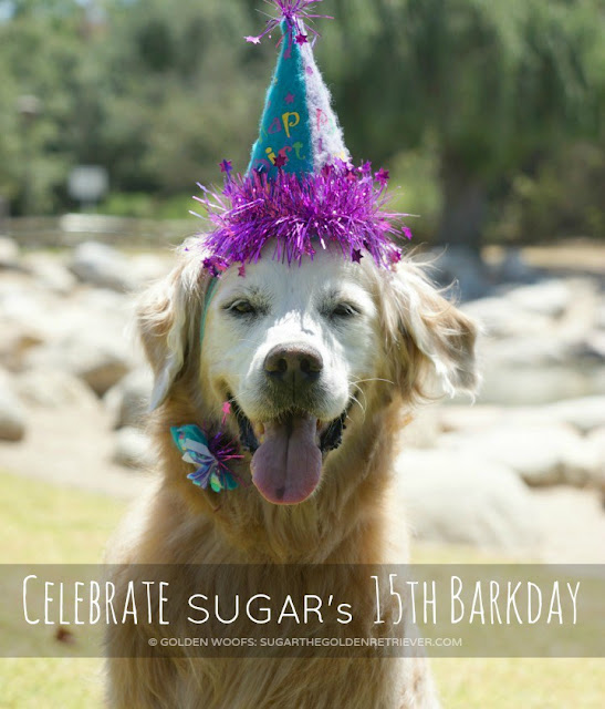Sugar the Golden Retriever in party hat