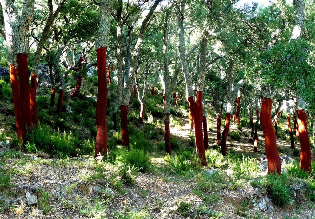 http://3.bp.blogspot.com/-6mP-Ha5Wi80/Un5gxNwLHaI/AAAAAAAArk0/JrM-URtWNqU/s1600/cork+harvest+oak+4.jpg