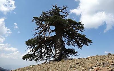 Pohon Tertua di Eropa Berusia Lebih Seribu Tahun