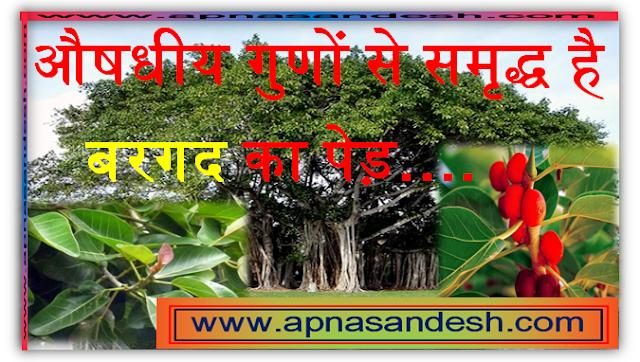 बरगद के पेड़ के गुणधर्म और लाभ - Properties and Benefits of Banyan Tree