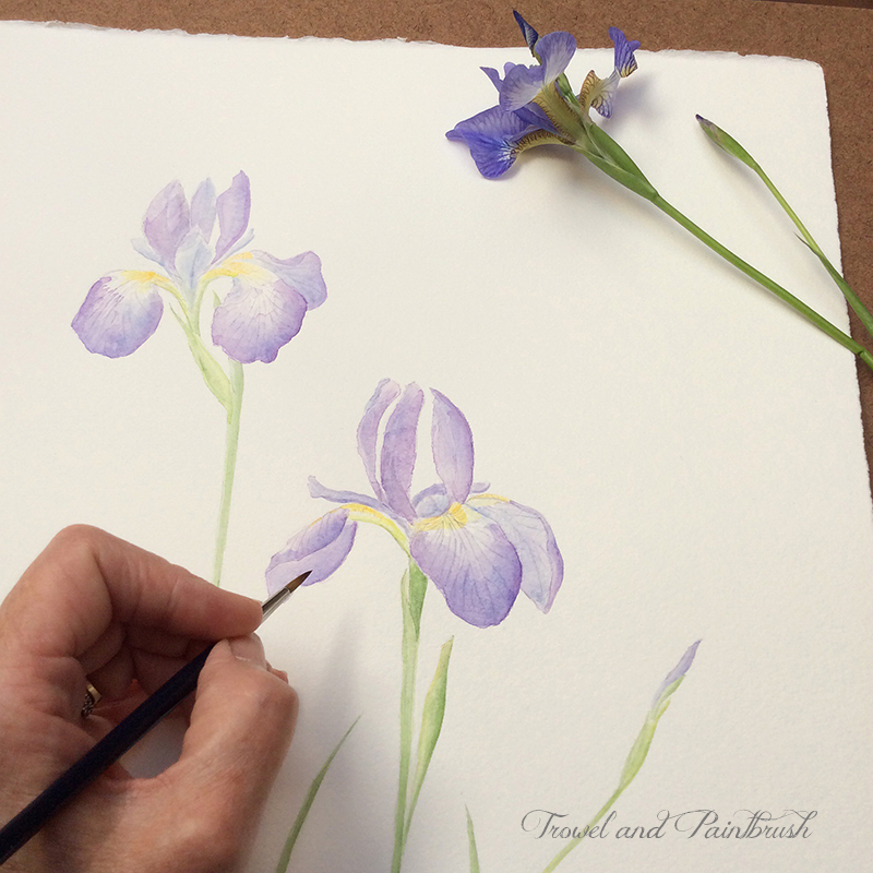 Iris watercolor painting in progress by Kathleen Maunder (trowelandpaintbrush.blogspot.ca)