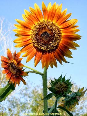 The Last Sunflower of Summer : Autumn Beauty Sunflower Blossom Photographed September 20, 2013