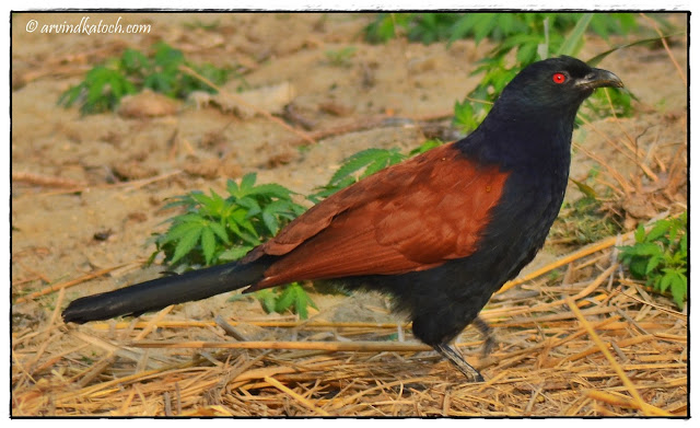 Greater Coucal, Crow Pheasant,