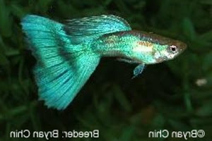 Half Green Guppy