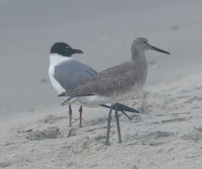 Laughing Gull and Willet