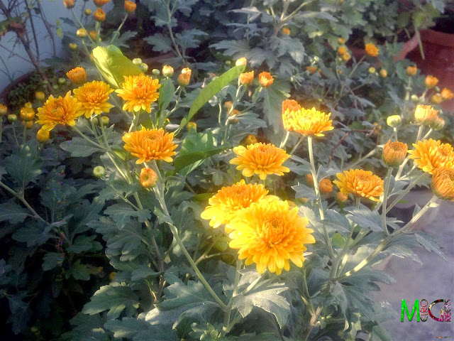 Metro Greens: Orange coloured chrysanthemum bloom and buds